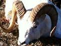 Hunt Alaska Dall Sheep